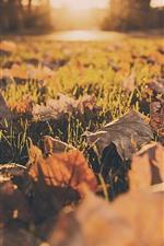 Hojas de arce, tierra, césped, sol, otoño