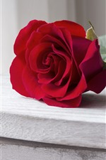 Preview iPhone wallpaper One red rose, petals, table