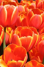 Preview iPhone wallpaper Orange tulips, beautiful flowers
