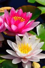 Lírios de água cor-de-rosa e brancos