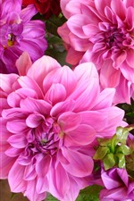 Preview iPhone wallpaper Pink dahlias, flowers close-up