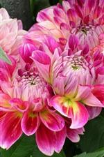 iPhone壁紙のプレビュー ピンクのダリア、花びら、美しい花
