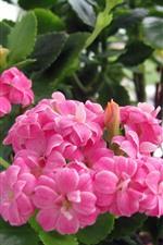 Vorschau des iPhone Hintergrundbilder Rosa Kalanchoe Blumen