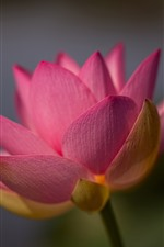 Preview iPhone wallpaper Pink lotus close-up, petals, hazy background