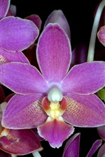Preview iPhone wallpaper Pink phalaenopsis, petals, flowers