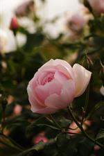 Rosas rosas, fondo brumoso.