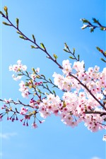 Preview iPhone wallpaper Pink sakura bloom, blue sky, spring