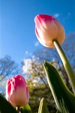 Pink tulips, stem, blue sky, sunshine