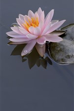 Preview iPhone wallpaper Pink water lily, petals, leaves, water