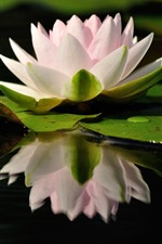 Preview iPhone wallpaper Pink water lily, petals, pond, water reflection