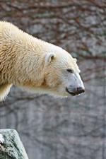 Polar bear, rocks