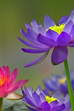 Preview iPhone wallpaper Purple and pink water lily, pond, water, birds