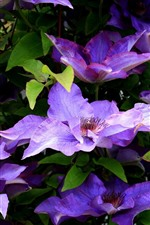 iPhone壁紙のプレビュー 紫のクレマチス、春の花