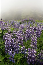 Preview iPhone wallpaper Purple flowers, wildflowers, mountain, fog, morning