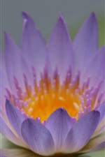 Preview iPhone wallpaper Purple petals water lily, flower close-up
