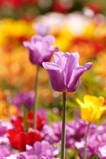 Purple tulips, spring flowers