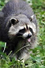 Preview iPhone wallpaper Raccoon walking, grass