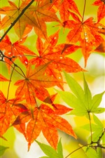Red and green maple leaves, autumn