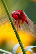 Preview iPhone wallpaper Red dragonfly, grass stem