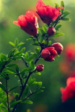 Preview iPhone wallpaper Red flowers, green leaves, hazy