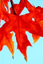 Vorschau des iPhone Hintergrundbilder Rote Ahornblätter, blauer Hintergrund