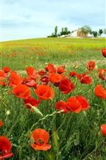 Amapolas rojas, primavera, campo