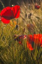 Red poppies, flowers, grass, sunlight