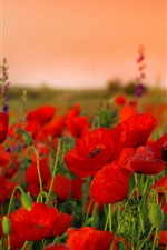 Preview iPhone wallpaper Red poppies, flowers, seeds