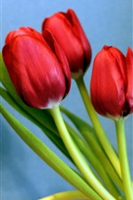 Preview iPhone wallpaper Red tulips, blue background