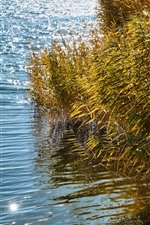 Preview iPhone wallpaper Reeds, grass, water, lake, shine
