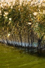 Preview iPhone wallpaper Reeds, summer, water, swamp