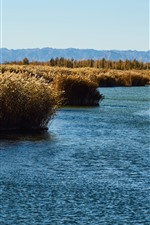 Reeds, swamp, water, autumn