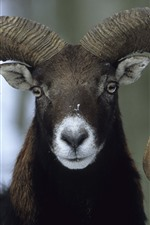 Preview iPhone wallpaper Sheep, bend horns