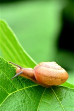 Preview iPhone wallpaper Snail, green leaf, insect macro photography