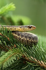 Serpiente, ramitas de abeto, agujas