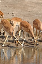 Preview iPhone wallpaper Some antelopes drink water