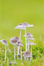 Preview iPhone wallpaper Some mushrooms, grass, green background