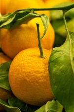 Preview iPhone wallpaper Some tangerines, green leaves