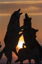 Preview iPhone wallpaper Some wolves, playful, sunset, silhouette