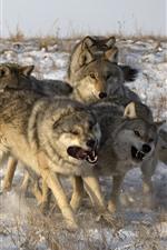Algunos lobos, nieve, invierno.