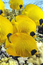 Preview iPhone wallpaper Some yellow fish, clownfish