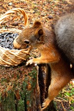 Preview iPhone wallpaper Squirrel, sunflower seeds