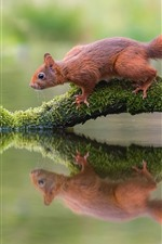 Preview iPhone wallpaper Squirrel, tree branch, moss, water reflection