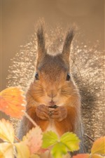 Preview iPhone wallpaper Squirrel,orange leaves, autumn