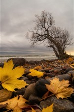Preview iPhone wallpaper Stones, yellow maple leaves, tree, sea, autumn