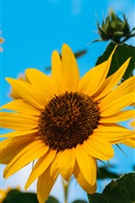 Girasoles, pétalos amarillos, cielo azul, verano.