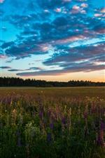 Sunset, fields, flowers, clouds, nature landscape