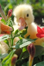 Preview iPhone wallpaper Three ducklings, cute animal