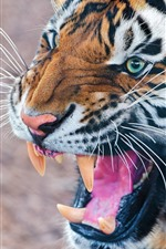 Preview iPhone wallpaper Tiger roar, teeth, mouth, face
