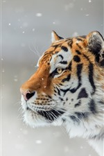 Preview iPhone wallpaper Tiger, side view, wildlife, snow, winter